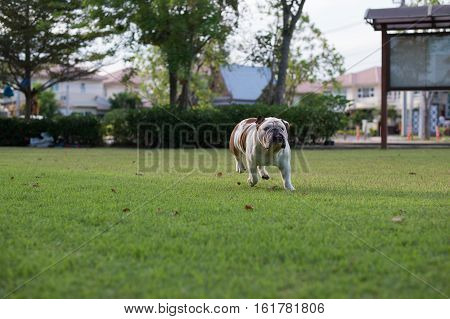 White Bulldog run on the grass and show tounge in the park
