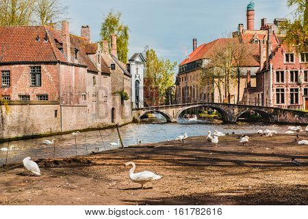 Famous swans in Belgian Bruges and old buildings in the background