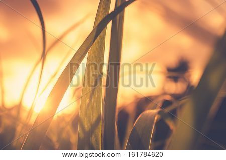 Green Grass In Sunset And Bokeh Sun Light Abstract Background.