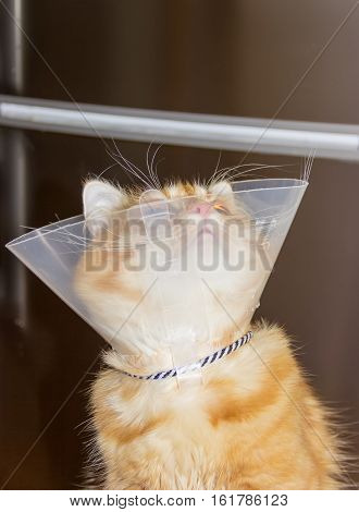Red cat looking up wearing a transparent plastic Elizabethan collar