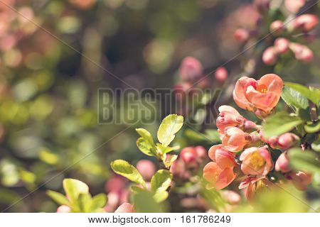 Rhododendron ponticum is a dense suckering shrub or small tree native to southern Europe and southwest Asia.