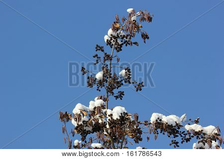 Fresh white snow on Catkins or seed pods with blue sky background