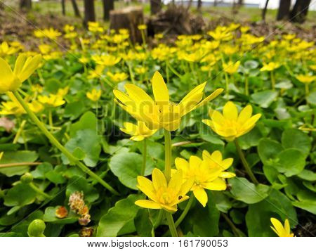 Marsh Marigold flowers (Caltha palustris) on spring