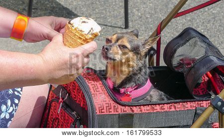 Dog gets ready to eat ice cream