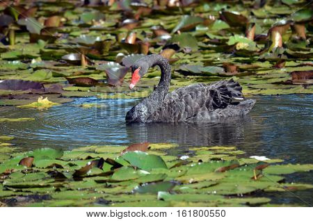 Australian Black Swan swimming amongst waterlily pads in a pond, Centennial Park, Sydney, Australia