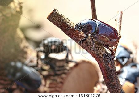 Handmade ,The beautiful beetle staffing ,Dor beetle ,female ,perched on branches.  Selective focus.