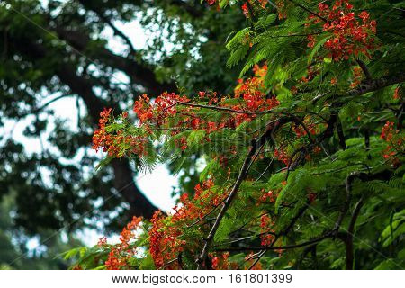 Phoenix flamboyant Small Bright Red Flowers On Tree