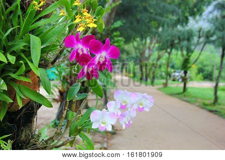 orchids grow on trees, purple, pale white, yellow, stretch in the direction of the tree, amid a lot of greenery, paths for walking