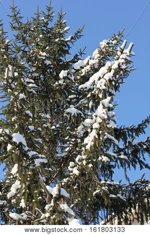 Pine tree with fresh white snow and blue sky