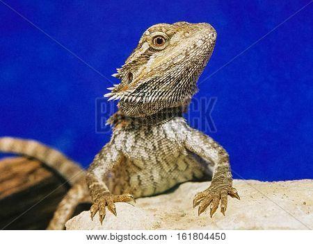 lizard, Agama б the prettiest lizard on earth