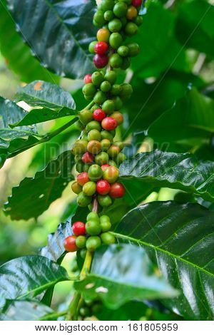 branch of red coffee beans on coffee tree