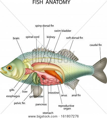 Vector illustration of Anatomy of fish on white background