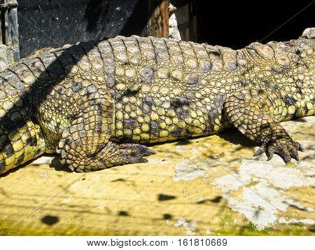 Adult big green crocodile at the zoo