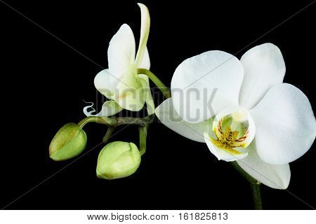 White Orchid close up of tropical flower with black background