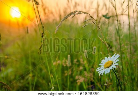 on a green lawn in the early foggy morning . dew on the lush green grass a summer misty morning. the sun's rays fall on the wet grass and flowers. Flower in thick morning fog