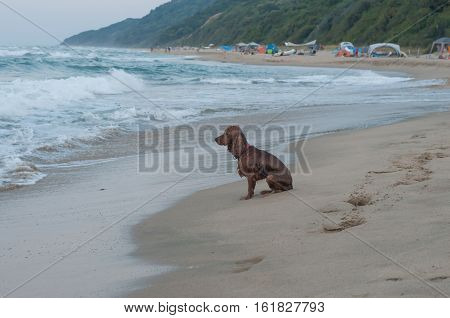 lonely wet dog is sitting on the beach waiting for his master
