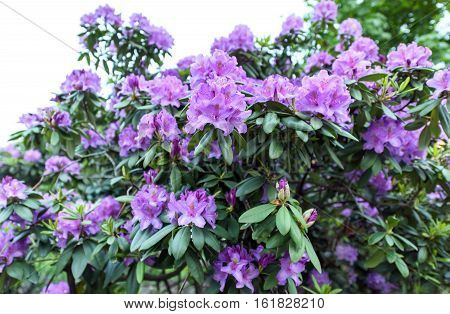 Photo of azalea indica happy days evergreen shrub with bright green foliage and purple violet blooming flowers
