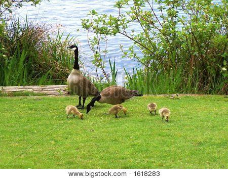 Mama Goose, Papa Goose And Goslings