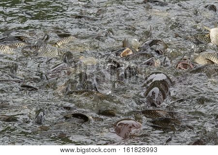 A Lot Of Fish In The Water. Fishing. Big Fish. Catfish. Plenty Of Freshwater Fishes Swimming Under W
