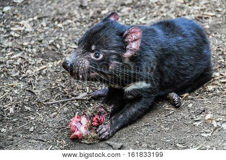 Tasmanian Devil In Featherdale Wildlife Park, Australia