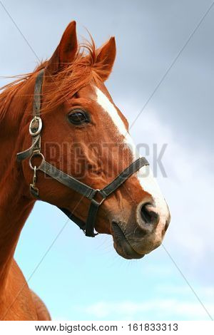 Chestnut anglo-arabian horse head isolated on blue sky background
