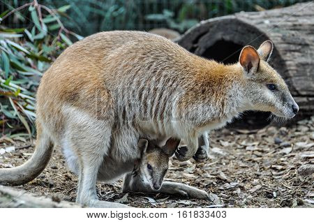 Kangaroo Mum With Baby In Featherdale Wildlife Park, Australia