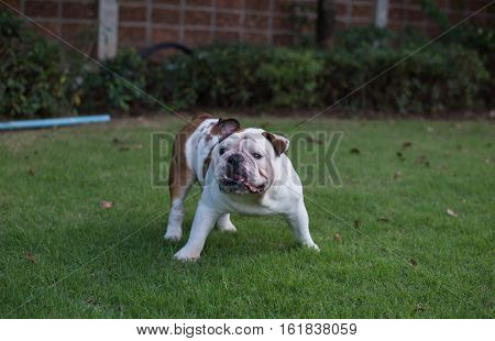 White English Bulldog stand on the grass and threaten
