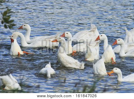 geese and ducks dive in the blue pond in the countryside in the summer