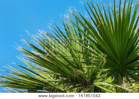 woolly green palms on the sky background