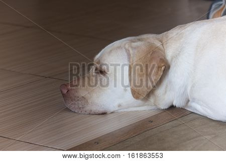 Large white dog sleeping ,white Labrador large, retriever, sad, fur, look, animal, portrait,