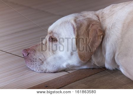 Large white dog sleeping ,white Labradorsecurity, young, room, sweet