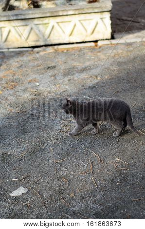 Homeless grey kitten hunting on a street