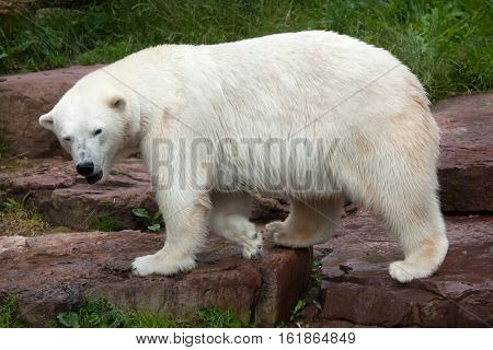 Polar bear (Ursus maritimus). Wildlife animal.