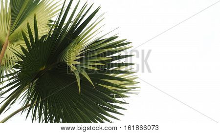 Palm Tree Leaf isolate white background is real sky at Cholburi province Thailand.