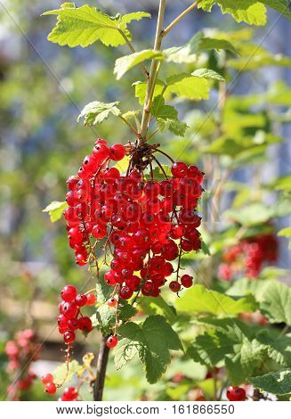 Bunch of closeup of bright red currants in summer garden