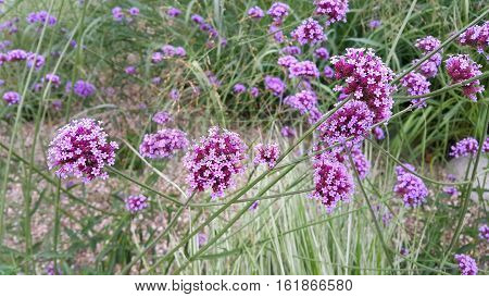 Beautiful lilac flowers close-up, natural summer background