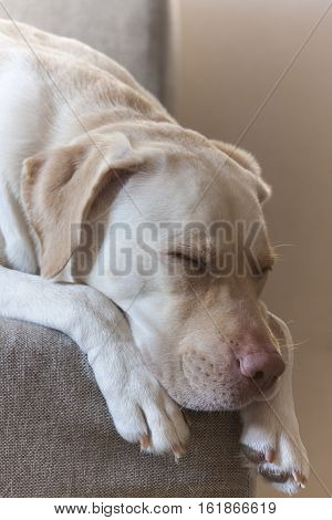 The large white Labrador sleeping tranquil, relaxation, paw, allegiance,