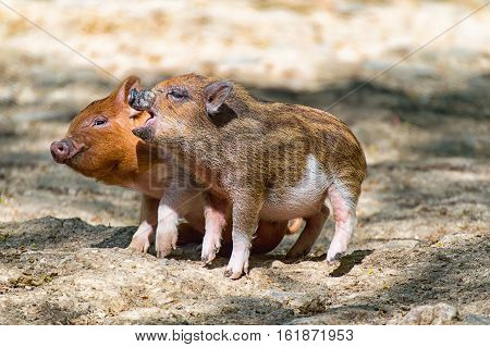 Two baby pigs playing together in the zoo