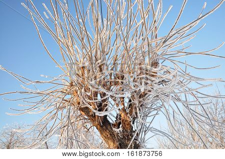 Frozen tree branches similar to the hydra.