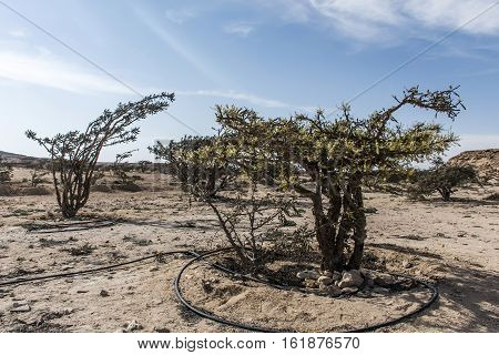 Frankincense tree plants plantage agriculture growing in a desert near Salalah, Oman