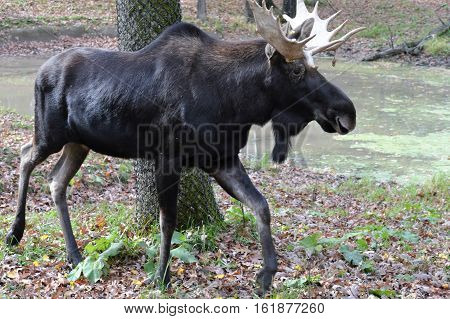 A moose in the woods during fall