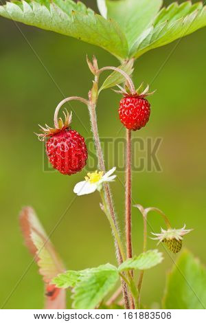 Woodland strawberry (Fragaria vesca) with berries and flowers