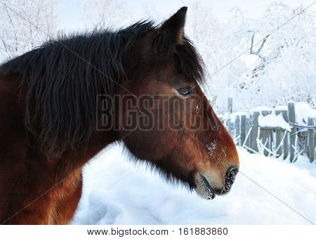 Muzzle of a horse in the winter. Winter landscape.
