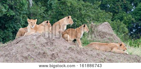 Group Of Young Lions On The Hill. The Lion (panthera Leo Nubica), Known As The East African Or Massa