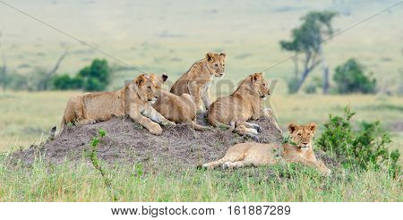 Group of young lions on the hill. The lion (Panthera leo nubica) known as the East African or Massai Lion