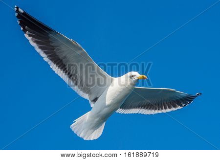 Flying Adult Kelp Gull (larus Dominicanus), Also Known As The Dominican Gull And Black Backed Kelp G
