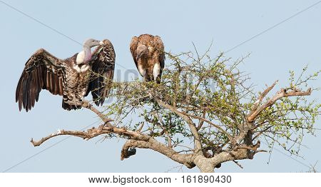 White-backed Vultures (gyps Africanus) Sitting And Looking On A Tall Tree