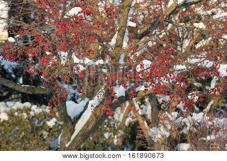 Fresh White snow on crab apple tree