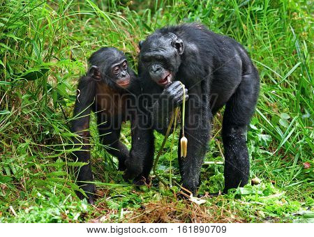 Bonobos And Lily. The Bonobo ( Pan Paniscus), Called The Pygmy Chimpanzee.rare Endemic Species. Demo