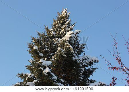 Winter snow on pine tree with blue sky